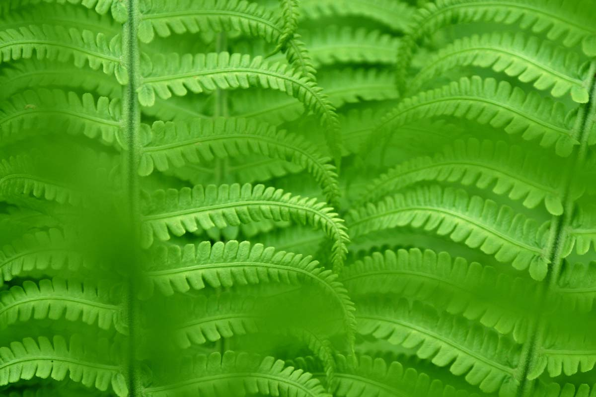fern-background